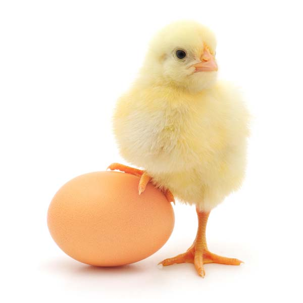 10 Facts About Chicken Eggs For Kids