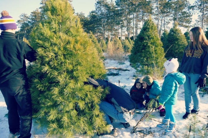 how to cut down a christmas tree farm 2014 tips locations mn blog