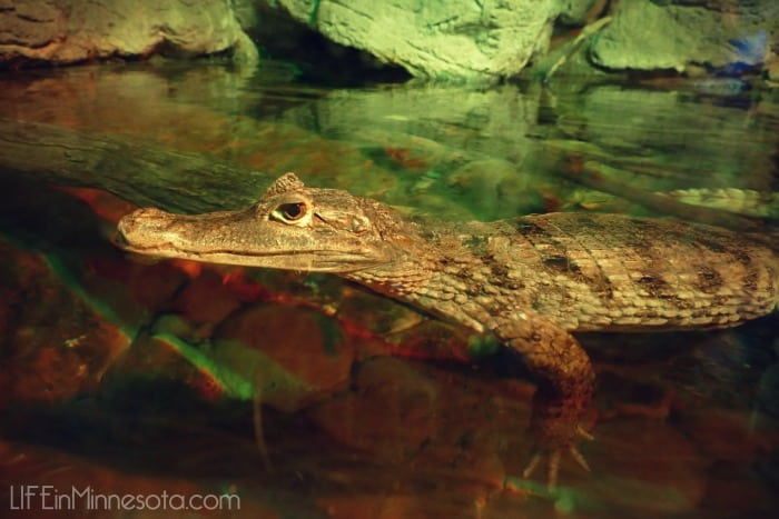 aligator small close up sea life mall of america trip with kids winter activites 2015