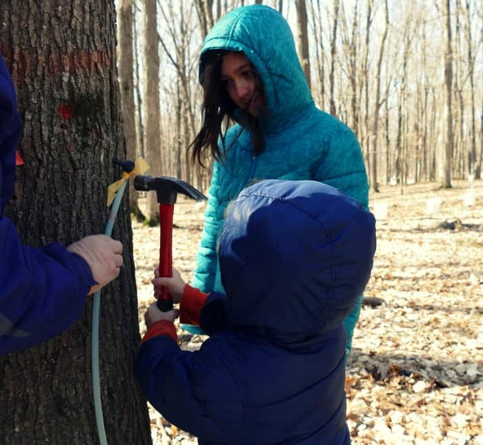 how to sap a maple tree syrup tips mn