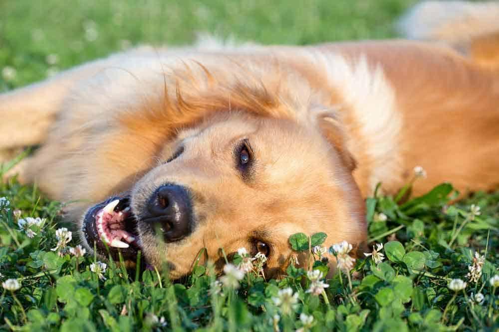 Golden Retriever Laying in Grass