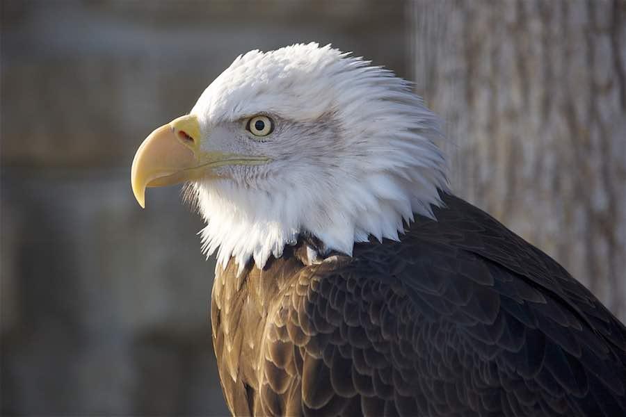 Bald Eagle at Zollman Zoo in Rochester MN