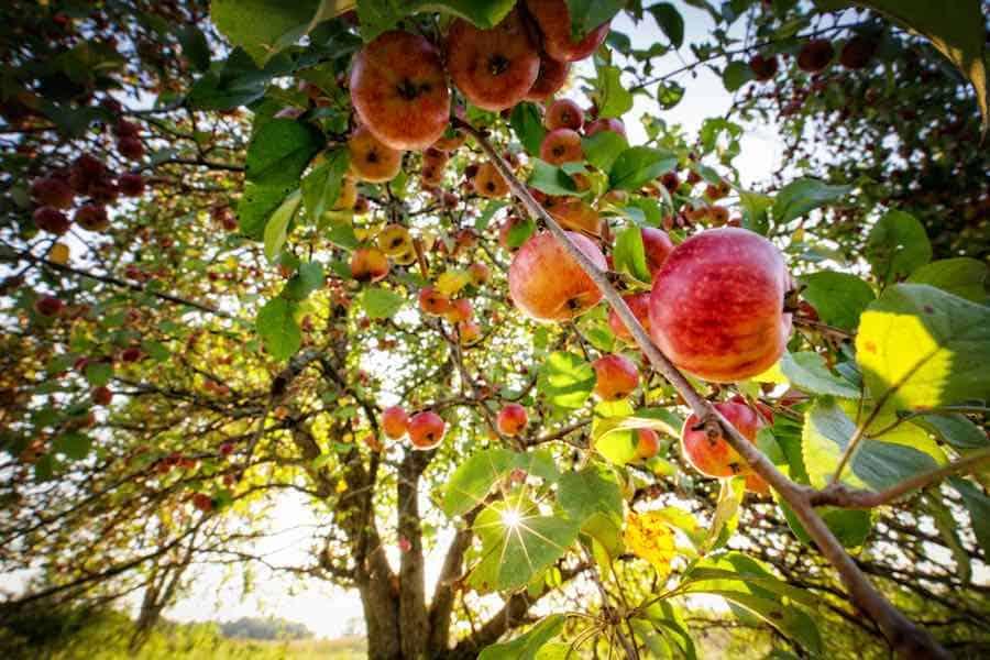 Minnesota Harvest Apple Orchard