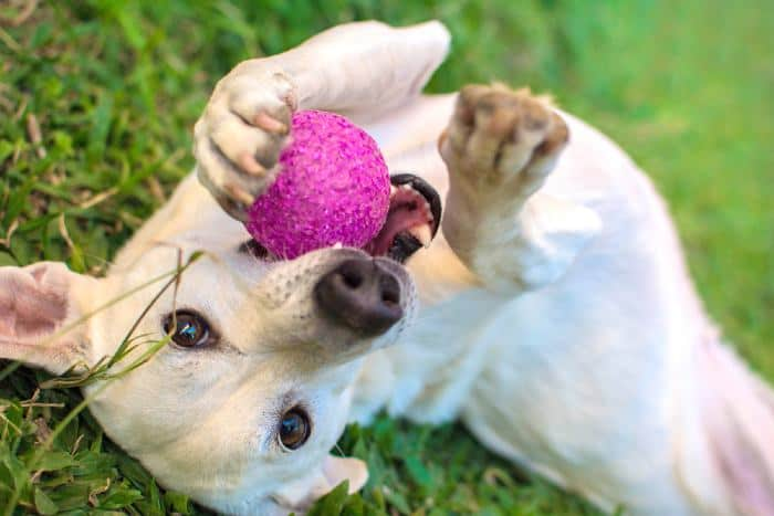 White Dog playing with pink ball