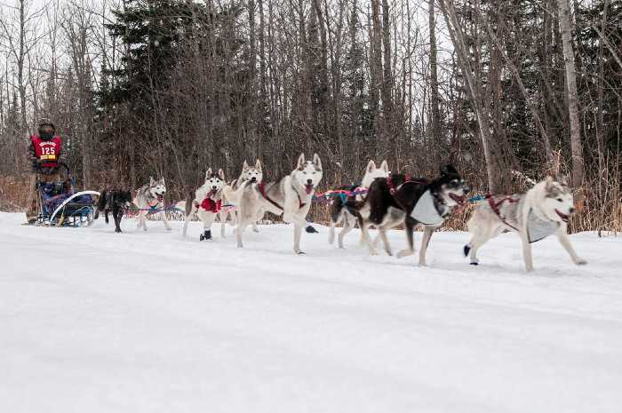 Dog-sled racer with a team of dogs