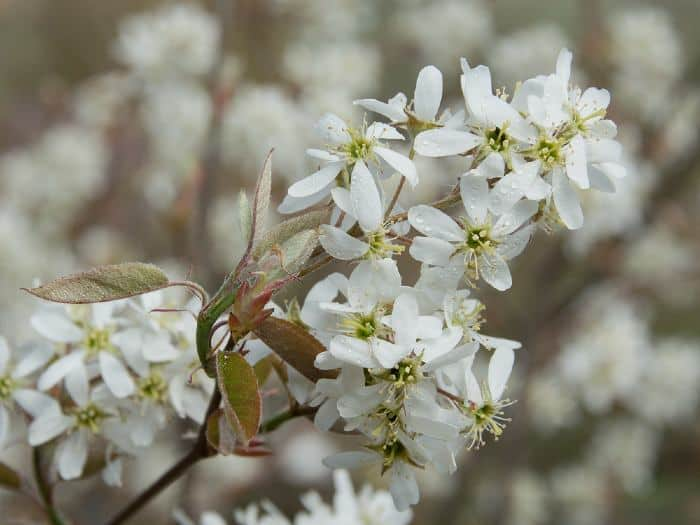 Flowering branch of a bush of serviceberry tree