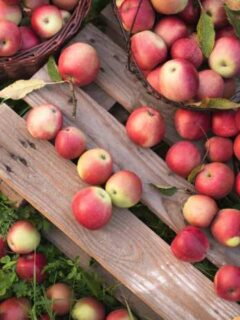 Apples from one of the best apple orchards in Minnesota