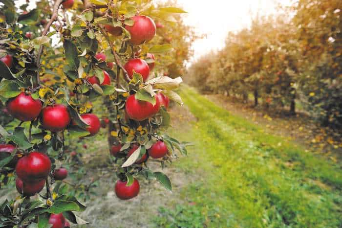 Apples on trees in orchard.