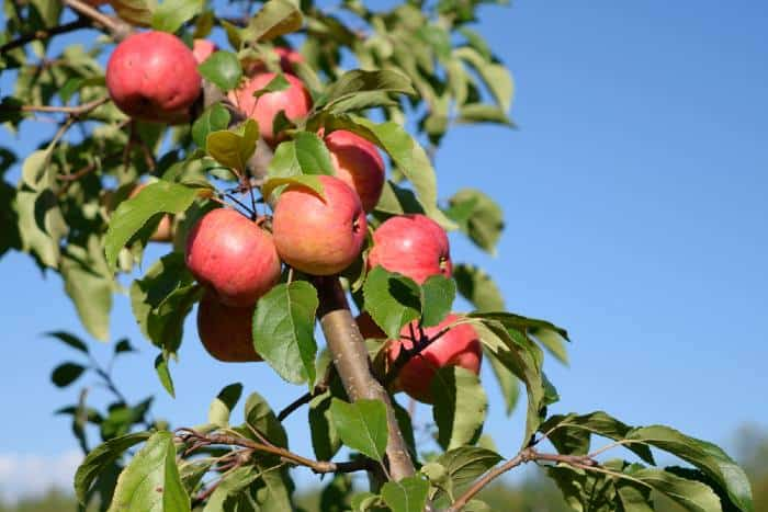 Chestnut apple tree is one of the best trees to plant in Minnesota.