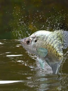 Crappie jumping out of lake water.