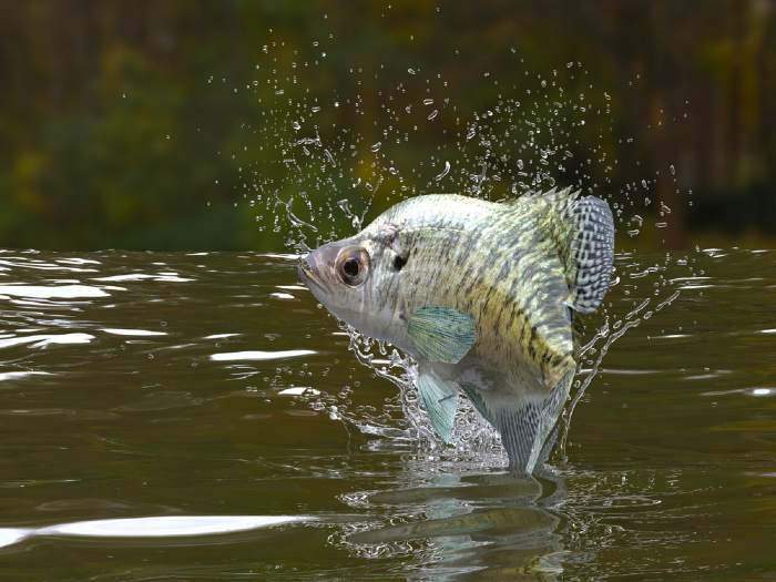 Crappie fish jumping in one of the best crappie lakes in Minnesota.