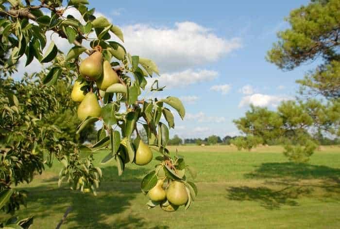 Pear tree in field