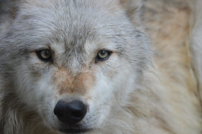 White and tan wolf face.
